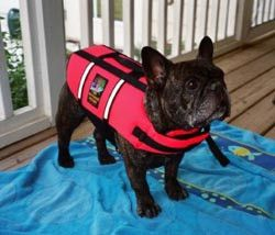 Life Jacket for those days at the beach. Zeke can't swim even if he knew how. Franchies are so top heavy that they will sink if they swim on their own.