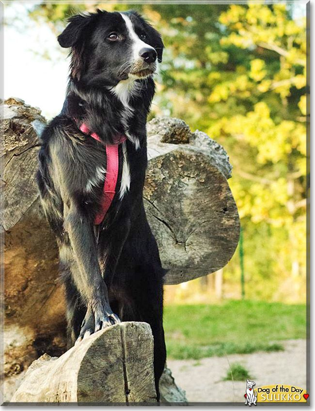 Read Suukko's story the Border Collie mix from Eskilstuna, Sweden and see her photos at Dog of the Day http://DogoftheDay.com/archive/2014/September/28.html .