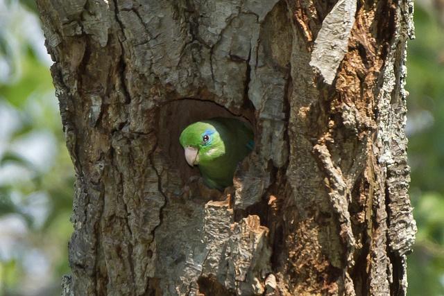 Periquito de Anteojos, Spectacled Parrotlet (Forpus conspicillatus) 07 by jjarango, via Flickr