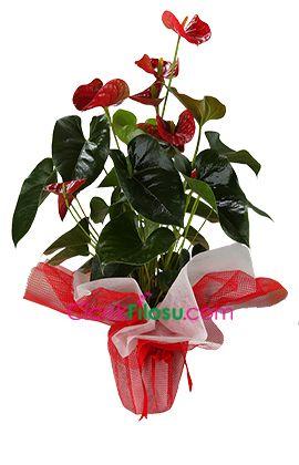 Antoryum Çiçeği Bakımı, Yetiştirilmesi, budanması, sulanması, toprak, vitamin, ışık, ve rüzgar faktörlerine karşı direnci hakkında bilgiler
