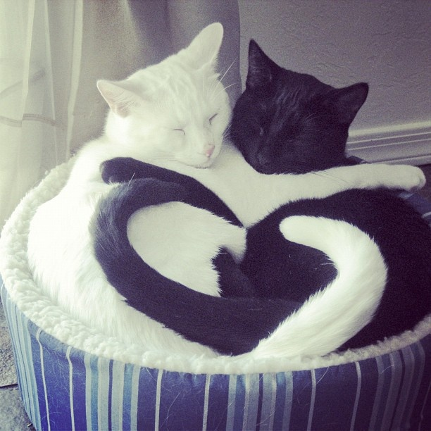 """Even fast asleep, they're never apart. #loveamazingly""Kitty Cat, Heart, Valentine Day, Black And White, Black White, Black Cat, Animal, Yin Yang, White Cat"
