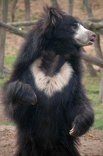 """Urso-beiçudo (Melursus ursinus) :Habita as florestas da Índia, Nepal, Bangladesh e Sri Lanka. Sua dieta é basicamente insetos, mas também se alimenta de mel, carne, ovos e plantas. Possuem boas habilidades com nadar e subir em árvores altas para se proteger de predadores. O Urso """"Balu"""", amigo de Mogli em """" O Livro da Selva"""" é um urso beiçudo."""