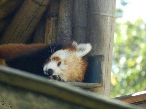 Panda roux, Ménagerie du Jardin des Plantes, Paris, 2012