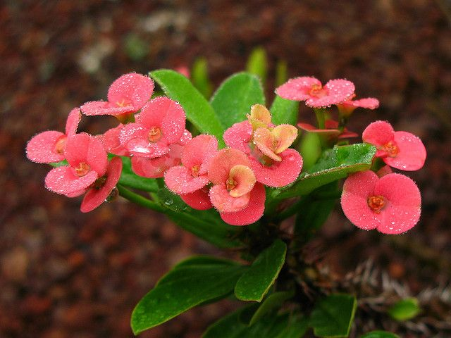 Crown-of-Thorns / Euphorbia milii / 花麒麟(ハナキリン) by TANAKA Juuyoh (田中十洋), via Flickr