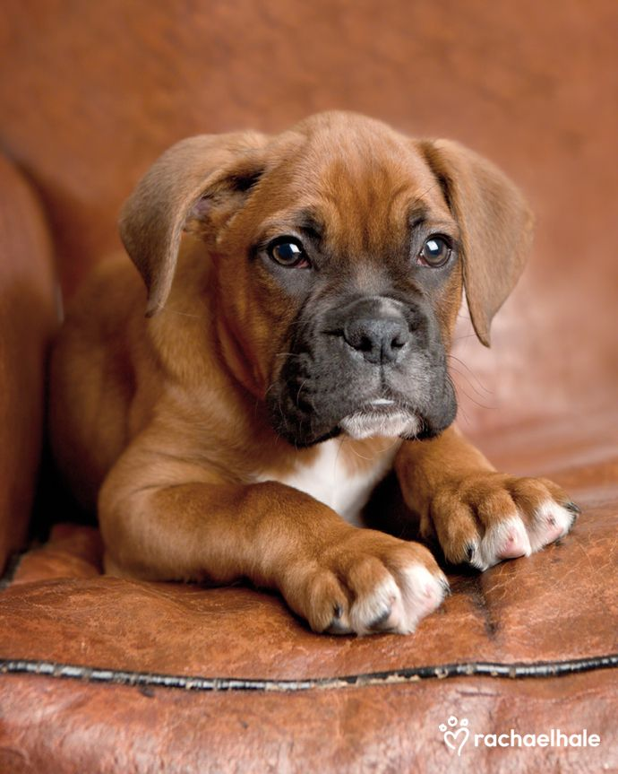 Jacob (Boxer) - A worn leather seat, nice and comfy for doggy feet (pic by Rachael Hale)