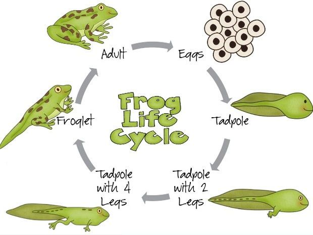 Frog Life Cycle Drawing And Painting With Images Lifecycle Of