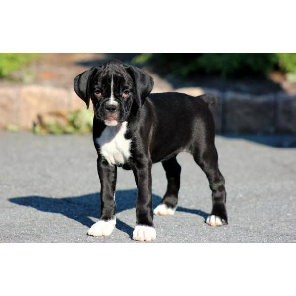 I want one!!  Female black boxer