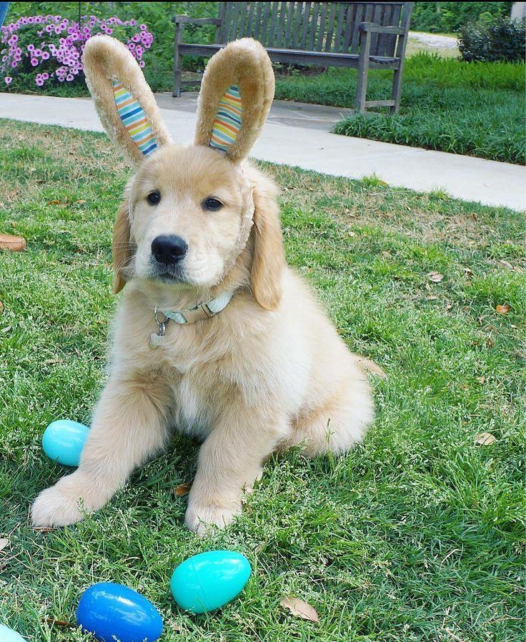 Cooper The Golden Retriever On Instagram Hoppy Easter Goldensofinstagram Goldenretri Cute Puppies Golden Retriever Cute Puppies Golden Retriever