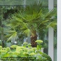 Palmier de Chine, Trachycarpus fortunei - palmier chanvre - Chamaerops excelsa