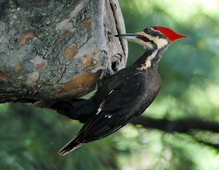 O pica-pau pode dar 100 bicadas por minuto em uma árvore