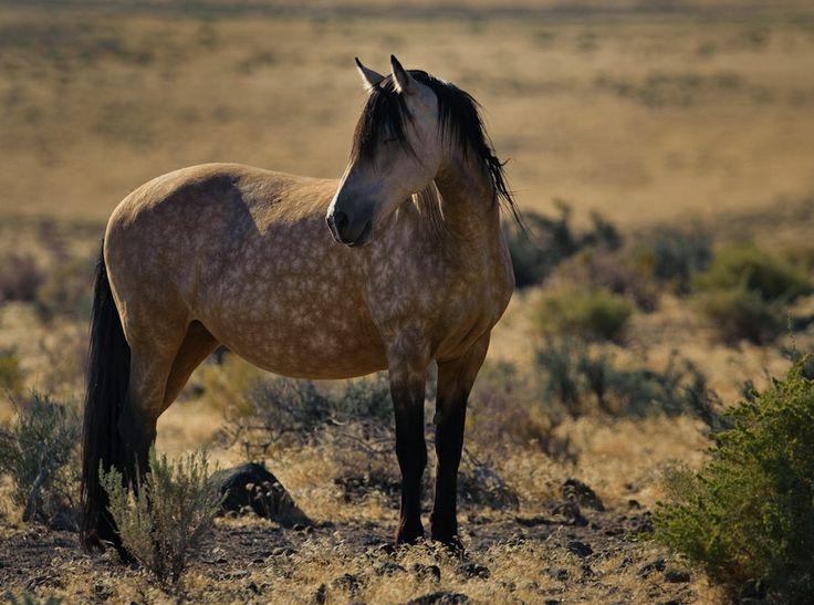 dappled palomino quarter horse
