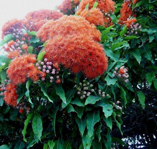Eucalyptus (Corymbia) ficifolia (Western Australian Flowering Gum)