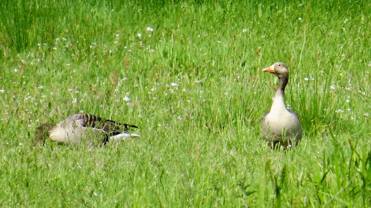 2017-05-21 Grauwe ganzen aan de Vecht bij Vilsteren