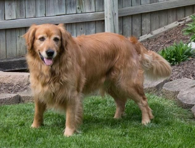 Pend adopt. This is Briar - 8 yrs. He was an owner surrender due to a move. He is neutered, current on vaccinations, potty trained, knows a few commands, good with dogs. Kids over age 10 yrs old. Needs leash work. GR Rescue Resource, OH. - http://www.gr-rescue.org/golden_retrievers_for_adoption_7.html -