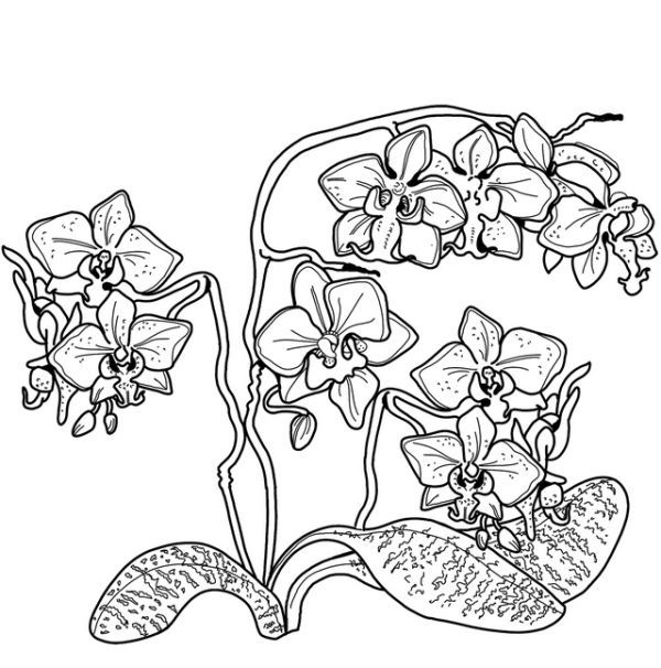 Beautiful Orchid Coloring Pages Free Coloring Sheets Beautiful Orchids Orchid Florist Blue Lotus Flower