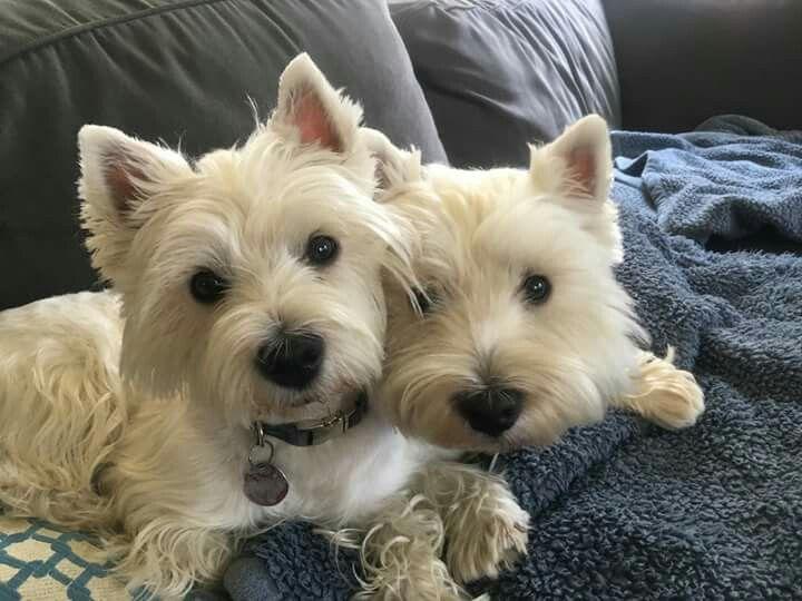 Pin By Thomas Barr On Westies Westie Dogs Westie Terrier Westies