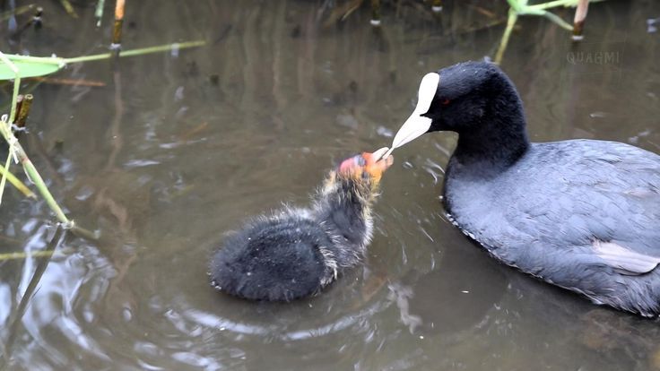 Baby and Adult Coots at Abbotsbury Swannery, Dorset, England