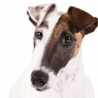 #dogalize Razas de Perros: Fox terrier de pelo liso caracteristicas #dogs #cats #pets
