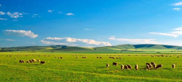 Sheep grazing on Lake George floodplain near Canberra, New South Wales, Australia