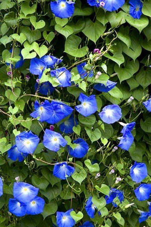 Ipomoea 'Heavenly Blue' eenjarig maar groeit snel en bloemt de hele zomer!