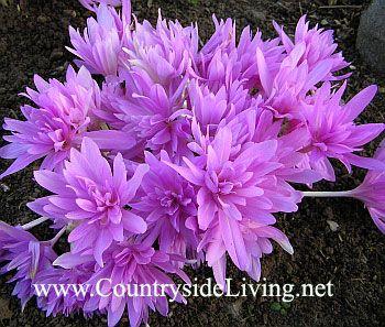 Осенние луковичные цветы купить
