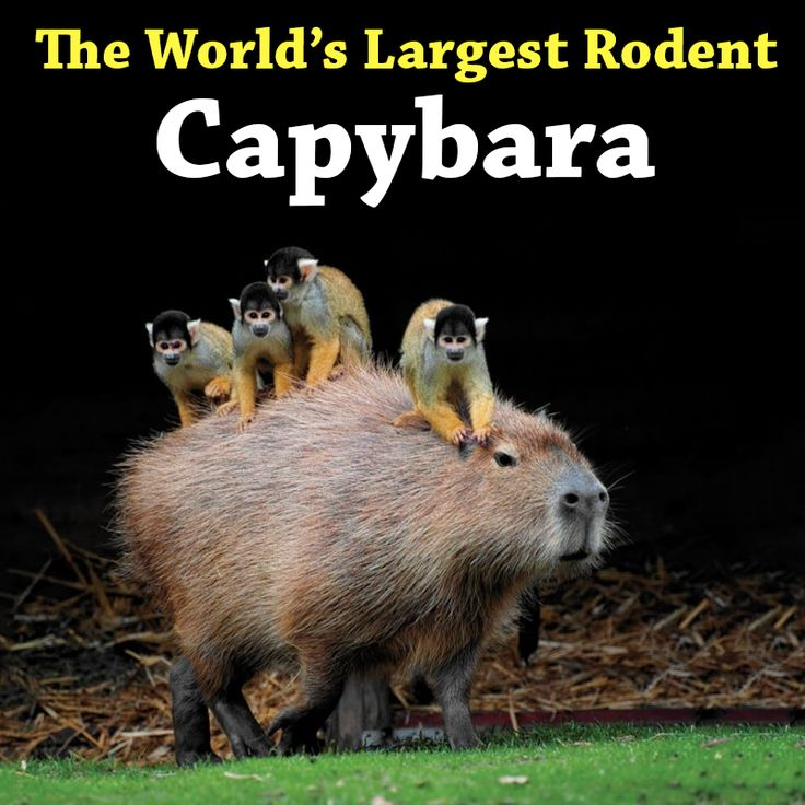 Meet the Capybara, the world's largest rodent. Native to Central and South America, the Capybara stands at 4 feet tall and weighs up to 150 pounds. #WorldsLargestRodent #Capybara #Amazing #Creatures