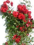 Comment embellir ses rosiers de façon tout à fait naturelle.. Je vous ai trouvé quelques astuces sympas et 100 % naturelles, pour embellir vos rosiers...Bientôt ils nous offriront de belles roses à condition biensûr qu'on les chouchoute un peu...et de façon totalement naturelle.   1) Engrais...
