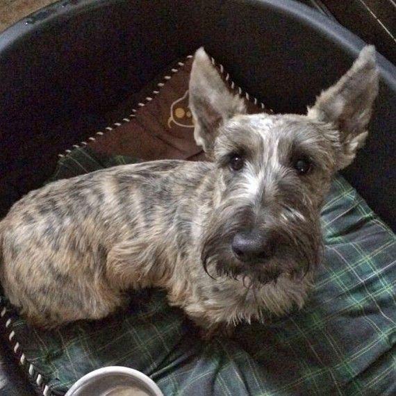 Kc Registered Black Brindle Scottish Terrier Puppy