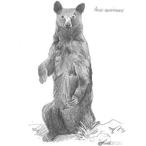 A #Black #bear. Take it home today! http://bit.ly/2aNPr1l  #art #illustration #sketch #drawing #animals #wildlife