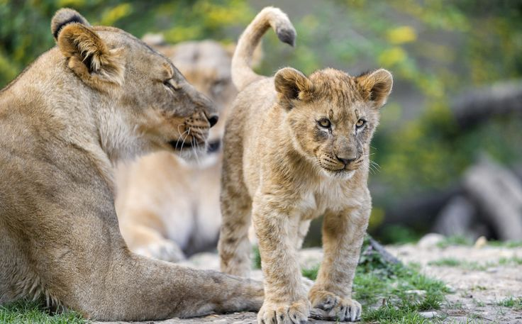Lion Meat Will Be Banned in the U.S. Thanks to the Proposed Endangered Species Listing