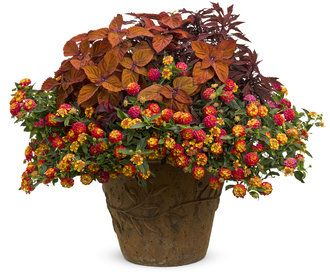 368 best images about coleus on pinterest scarlet fall containers and thrillers - Best flower combinations for containers ...