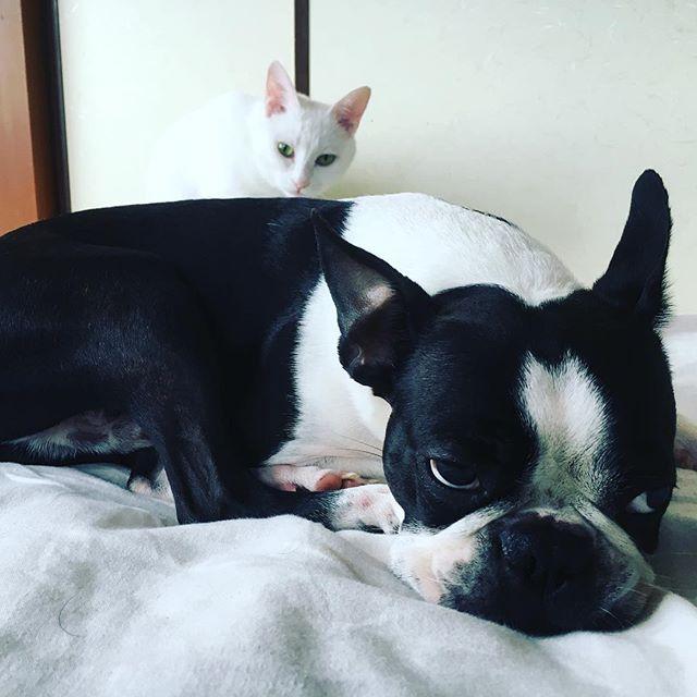 ツーショット! ボス眠そう^ - ^  #犬猫仲良し  #白猫 #ボストンテリア #bostonterrier  #ボストンテリアbostonterrier  #パグ #黒パグ #pug #dog #doglover  #dogoftheday  #dogs  #dogofinstagram  #dogfamily  #dogfriendly  #愛犬love  #愛犬