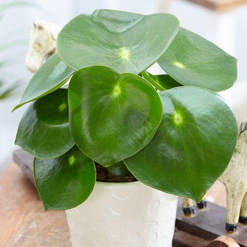 Raindrop Chinese Money Plant – Peperomia polybotrya – 3.75″ Pot – Easy to Grow – Fleurs et plantes