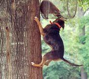 Catahoula Leopard Dog - blue eyes, can climb trees - from Catahoula Parrish, Louisiana