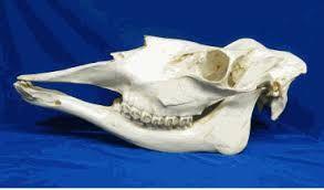 Image result for moose skull