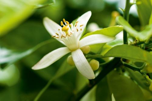 Neroli flowers! #yvesrocherusa #fragrance