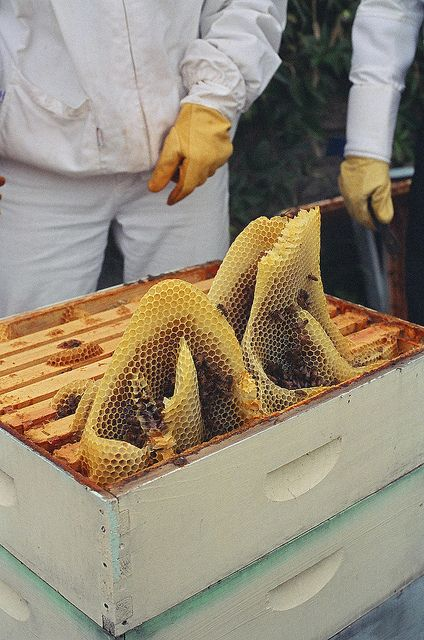 Look at that natural comb. I'm guessing that there was an empty space in a super above that allowed the bees to do this.