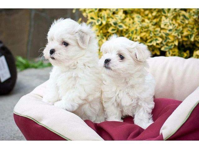 Male And Female Maltese Puppies 100 Purebred Maltese Maltese