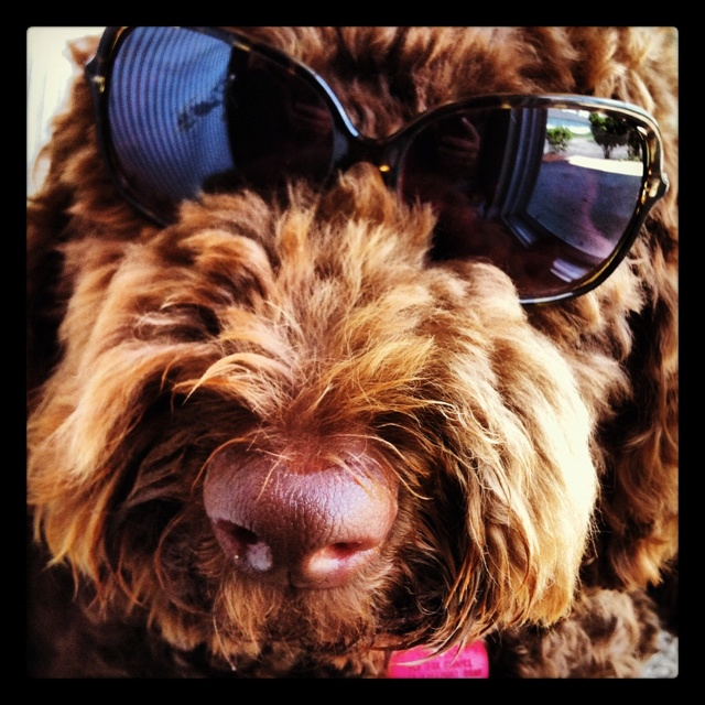 Beautiful Labradoodle Anime Adorable Dog - e07ba44f2b6e15f63b9d4de80a208914--labradoodle-dog-labradoodles  Gallery_805242  .jpg