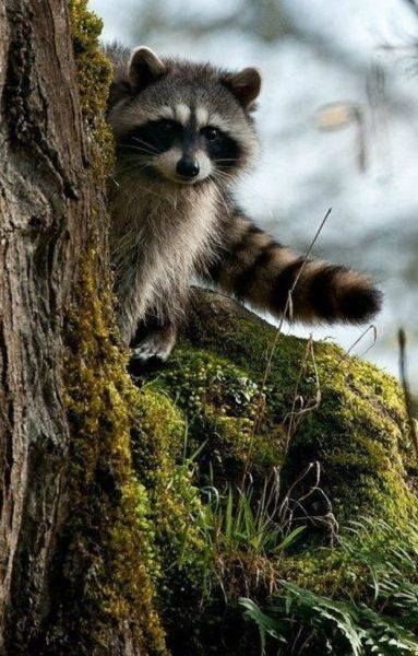 A Raccoon peeking around a tree. Don't know why but I've always found raccoons so adorable.