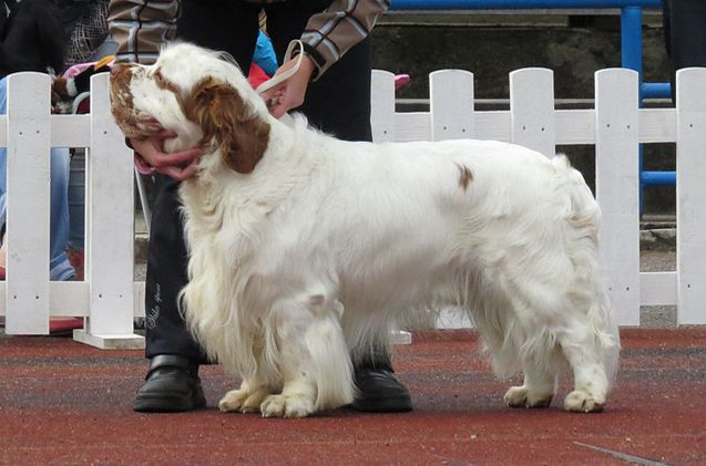 The largest of all spaniels, the Clumber Spaniel is a dog fit for a king. And indeed, much of the breed's early history centers around French and British nobility.