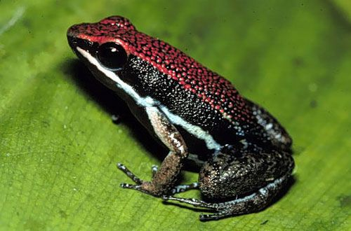 Google Image Result for http://www.wildernessclassroom.com/www/schoolhouse/rainforest_library/animal_images/poison_frog4.jpg