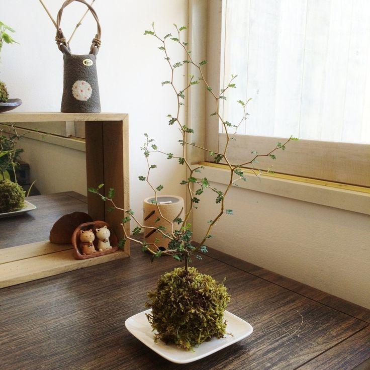ポキポキ折れ曲がった枝と細かい葉が可愛いソフォラミクロフィラの苔玉です。常緑樹で1年を通して楽しめます。当店の苔玉&盆栽で女性に一番人気の植物です!サイズ約 高さ20~30cm 玉の大きさ8cm*数量物のため画像の樹形と異なる場合があります。注1:乾き気味を好みますので受け皿に水を溜めないようにして下さい。注2:皿のデザインが変わる場合があります。【お客様へお願い】ヤフーショッピング(個人)のシステム上、配達希望日時指定の項目がございません。ご希望の方は、お手数ですがトップページ上段にある「お問い合せ」よりお知らせ下さい。また、ご希望の方にはメッセージカード(無料)もお付けできます。同じく「お問い合せ」よりお知らせ下さい。
