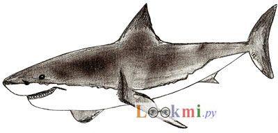 Как нарисовать акулу, шаг 6