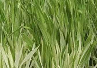 VARIEGATED CAT GRASS