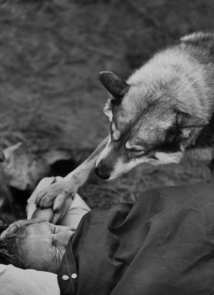 Steve McQueen's malamute wakes him up during a hunting trip, California, 1963.