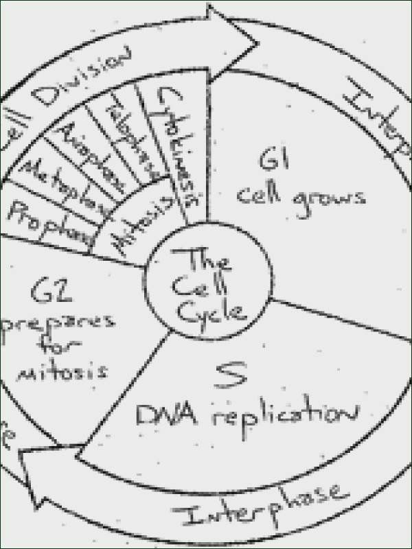 Cell Cycle Coloring Worksheet Cell Cycle Coloring Worksheet Back U U Uso O U U U U O Usu O U Oµuˆo Siklus Sel
