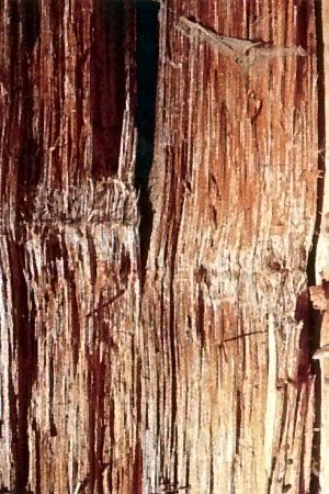white rot (of wood): type of wood decay resulting from enzymatic action of fungi; it degrades all components of wood, including lignin, leaving the wood light-colored and spongy