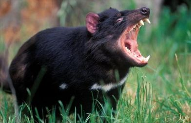 Tasmanian devil at Peel Zoo #Murray #VisitPeel. The huge walk-through aviary and Tasmanian Devils are star attractions.
