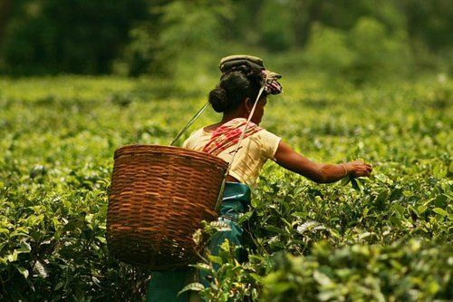 Picture from GoodLuck Tea on Twitter / @goodluck_tea: Tea Plucking
